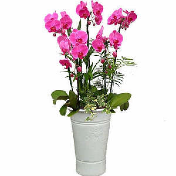 호접난5대 / 전국 꽃도매점에서 최상품으로 배송해드립니다