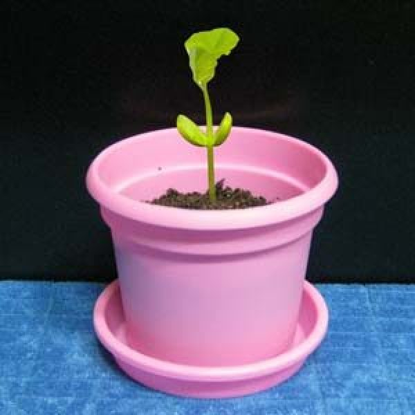 C065/강낭콩키우기/식물키우기/실내조경/공기정화식물