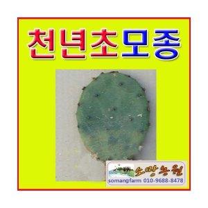 UG[소망농원]천년초모종(5kg 65장이상)/천년초모종 파는곳/천년초판매/화분 식재후 약20일 지나면 뿌리내림