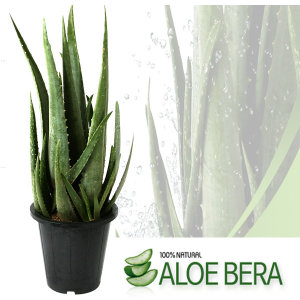 알로에베라 화분  선탠후유증 피부보습진정팩/틸란