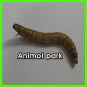 [애니몰파크]일반밀웜 딱정벌레기르기풀세트(밀웜20마리+사육장+바닥제먹이+부직포풀세트)딱정벌레