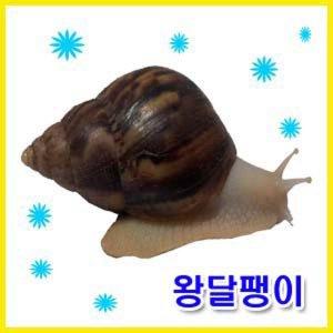 [애니몰파크]왕달팽이풀세트(왕달팽이2마리+대형사육장+달팽이사료+달팽이매트+습도조절물그릇)백와달팽이