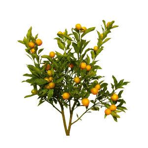 4년생묘목 한라봉 오렌지 만백유 천혜향 레드향황금향