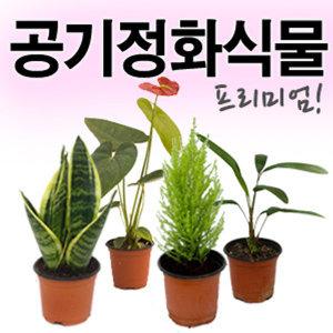 프리미엄 공기정화식물 /산세베리아/안스리움/장미/