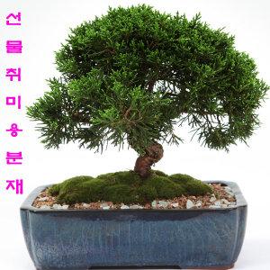 농장직영 선물용 취미용 소나무분재 해송 행운목선물