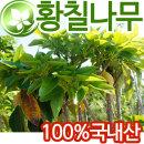 (국내산) 황칠나무 600g / 황칠나무잎 200g