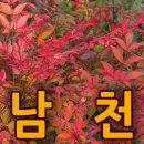 남천3그루/80cm이상/단풍/가을 붉은 단풍으로 멋짐