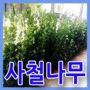 사철나무40그루/약70cm/생울타리조경수