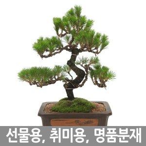농장직영 선물용 취미용 최고급 소나무분재 개업화분