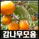 감나무/대봉시/둥시감/차량단감/감나무모음/2주묶음