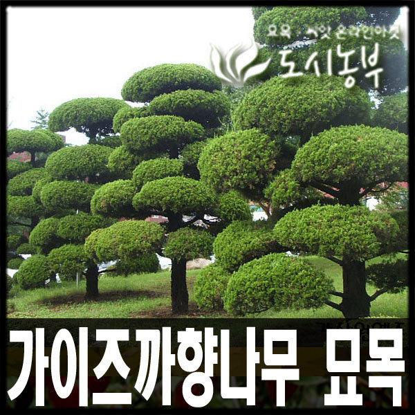 가이즈까향나무 묘목/가이즈카/키 1.50m판매