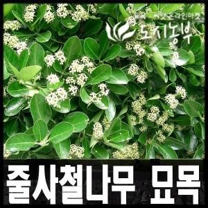 줄사철나무 묘목/덩굴식물 나무/포트(7주묶음) 판매