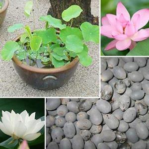 국내산 연씨앗/백련/홍련/상사홍련/연꽃씨앗/희귀씨앗
