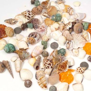 자연물재료 조개껍질/미술재료/소라/체험학습