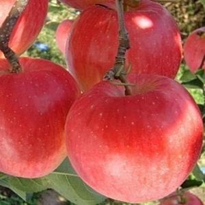맛있는 부사 햇 사과 10kg 특가찬스
