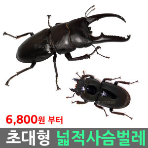 넓적사슴벌레 성충 대형 / 사육세트 상자 먹이 톱밥