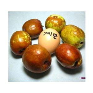 나무야 대왕대추접목1년 3그루묶음/대추/감//매실