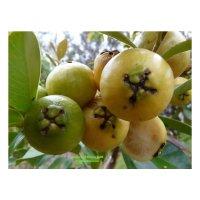 나무야 구아바포트묘/ 묘목/유실수/아로니아/커피나무