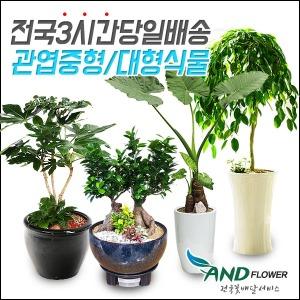 전국꽃배달 대품 관엽식물/화분배달/공기정화식물