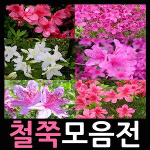 철쭉 모음/철쭉묘목 모음/꽃나무/꽃화분/도시농부