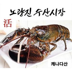 라이브 활 랍스타 2kg(한정세일)(노량진수산시장)