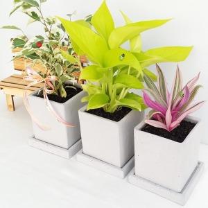 5+1이벤트 공기정화식물/화분/식물/꽃/시멘트화분