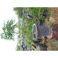 등나무 묘목  분재 조경  높이 70센 정도