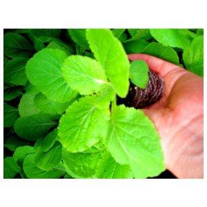 포도밭 배추모종(20개)무우모종 상추 모종 씨앗