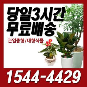 디씨플라워 동백역 꽃배달 관엽/정화/개업화분